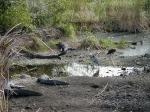 animals in everglades